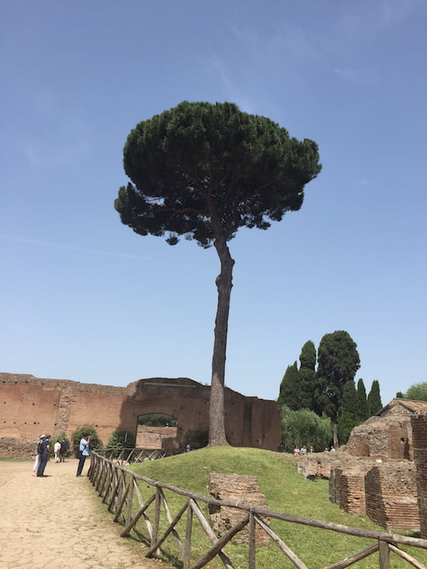 Trees: stone pine stands alone in Rome