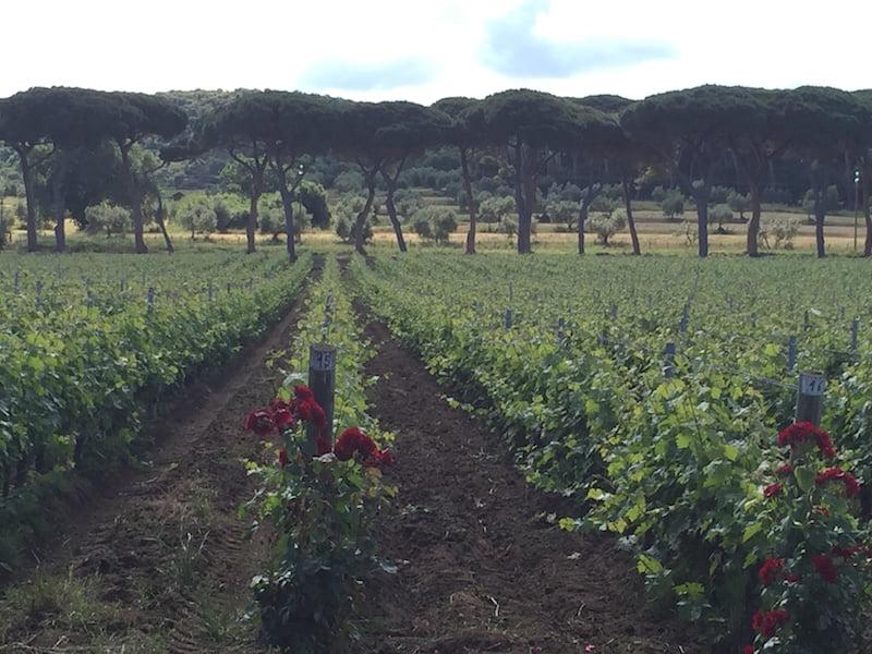 Trees: a row south of Livorno