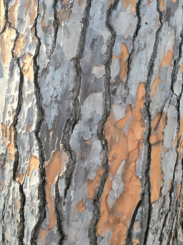 Trees: fire-resistant bark of the stone pine