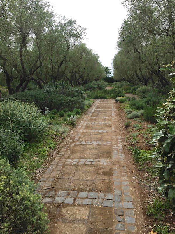 Ancient olive trees at La Landriana, Italy