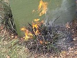 Burning-a-kangaroo-paw-for-regeneration.