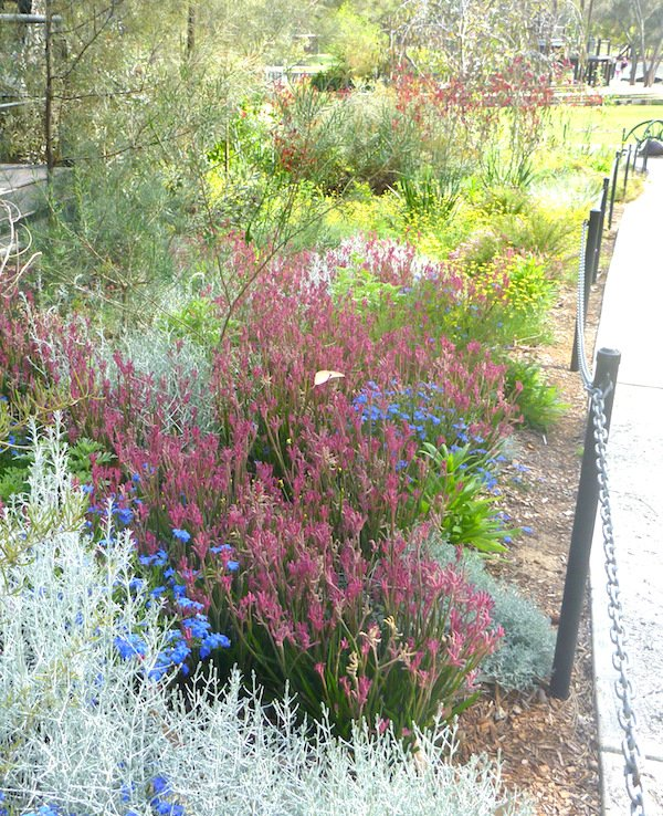 Kangaroo paws add vibrant colour to a garden