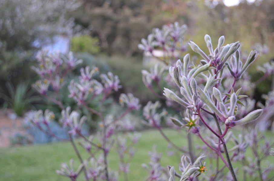 Lilac kangaroo paw