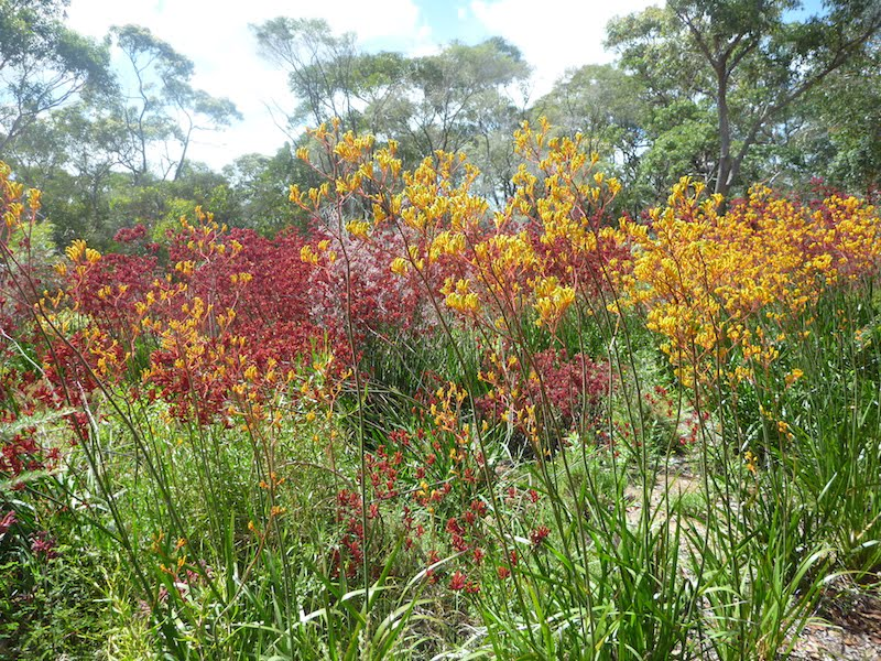 Tall kangaroo paws