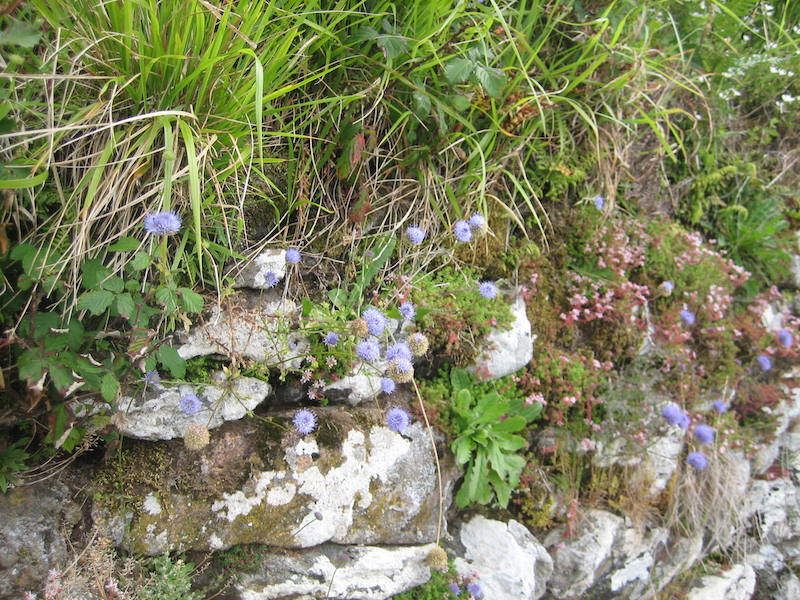 Portugal Serra d'Arga. Sedges and wildflowers on dry stone wall