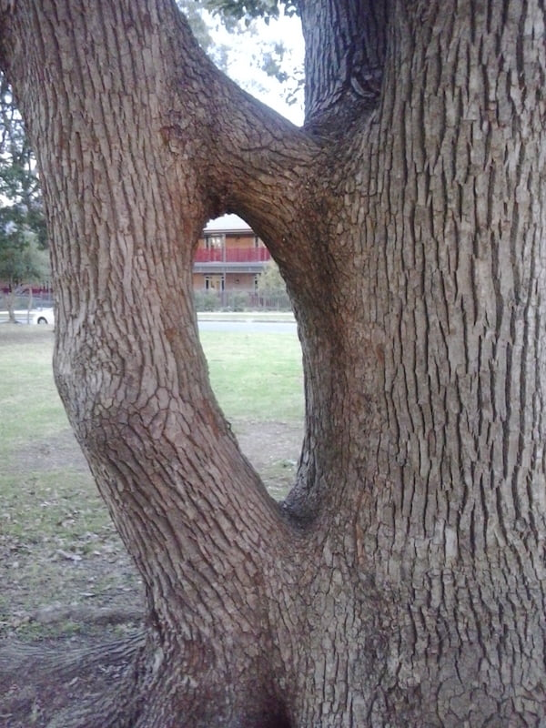 Self-grafted tree. Photo Greg Button