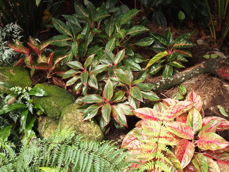 Tabu B&B colourful leaves of Aglaonema cultivars