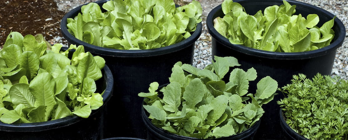 Edible plants to grow in the shade gardendrum - Salads can grow pots eat fresh ...