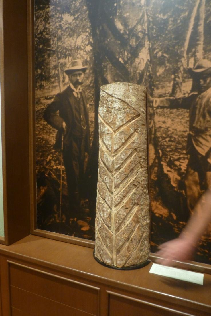 Museum display of rubber tree trunk with tapping scars