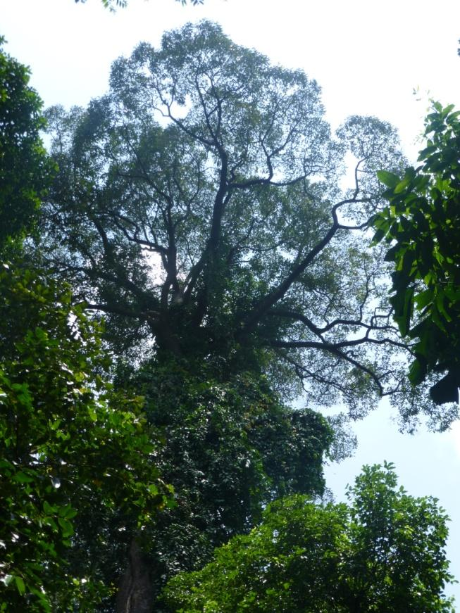 Towering canopy of a dipterocarp rainforest tree