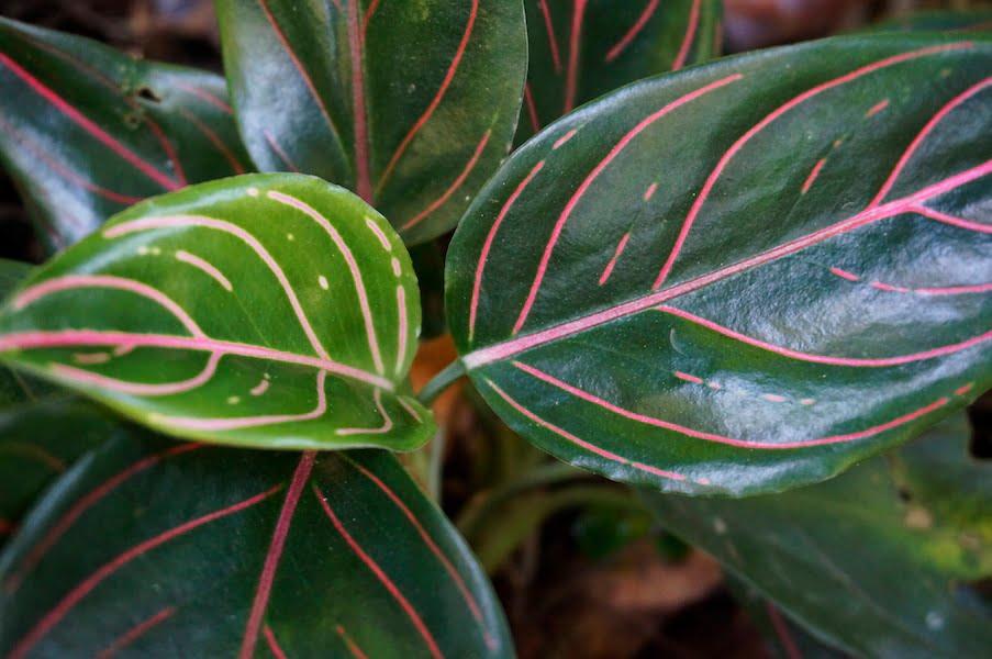 Aglaonema cultivar