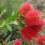 Callistemon Endeavour  copy