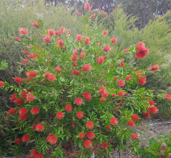 Callistemon 'Endeavour' - spectacular in peak flowering