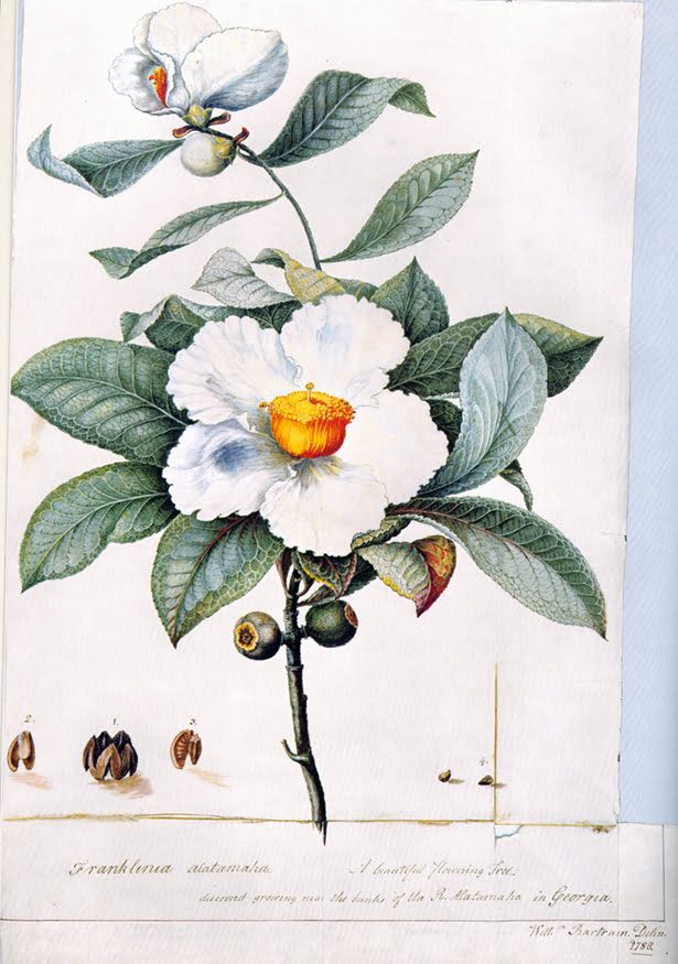 Franklinia alatamaha by William Bartram 1782