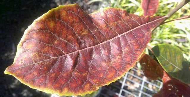Franklinia autumn/fall foliage colour