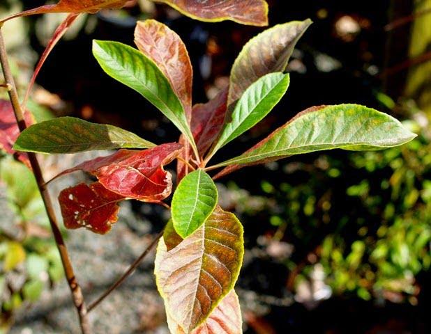 Franklinia seedling
