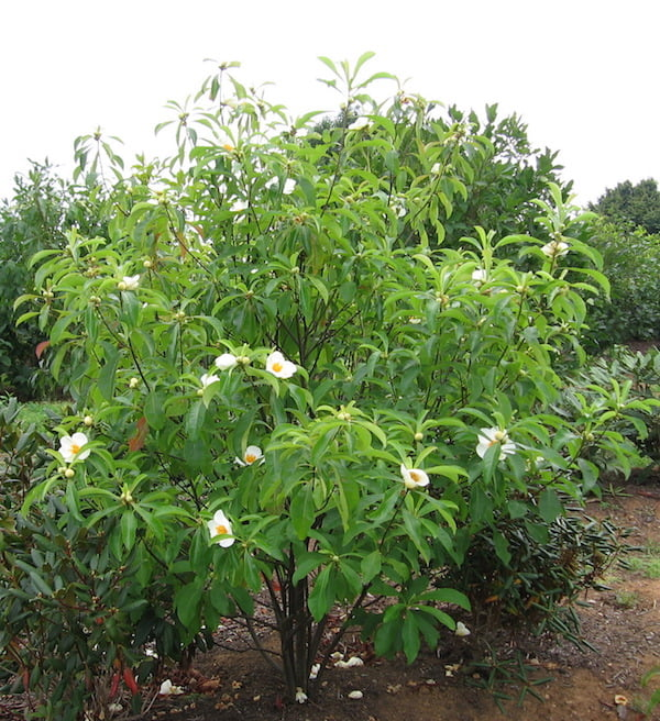 Franklinia alatamaha tree. Photo Natural Landscapes Nursery, PA