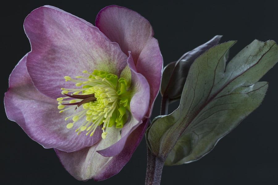 Hellebore Penny's Pink flower closeup