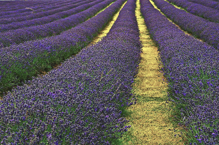 Lavender Field Sutton Photo by Kemal ATLI