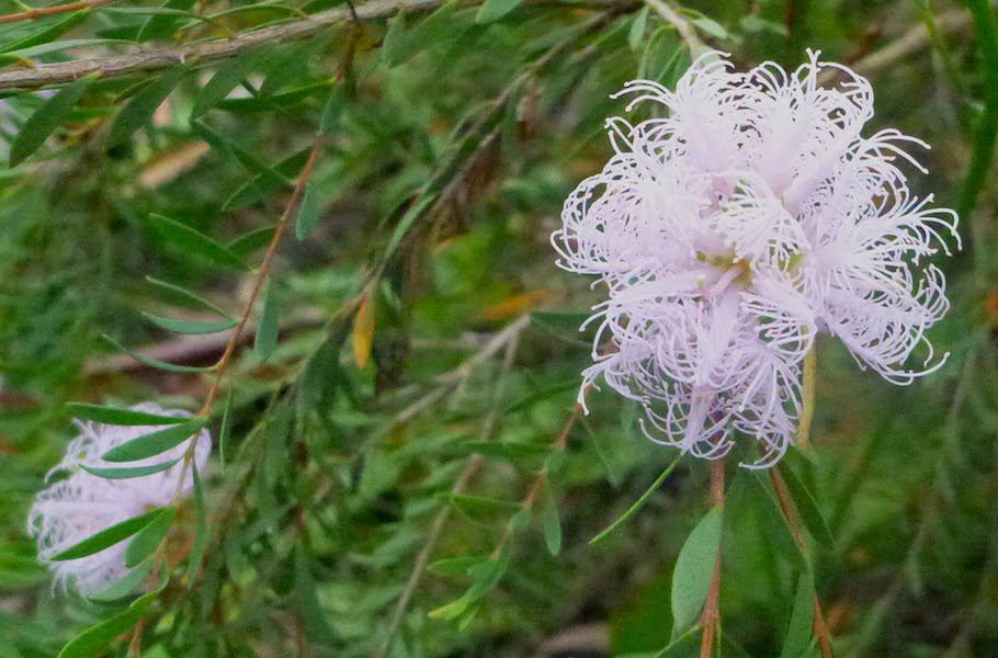 Melaleuca thymifolia Pink Lace
