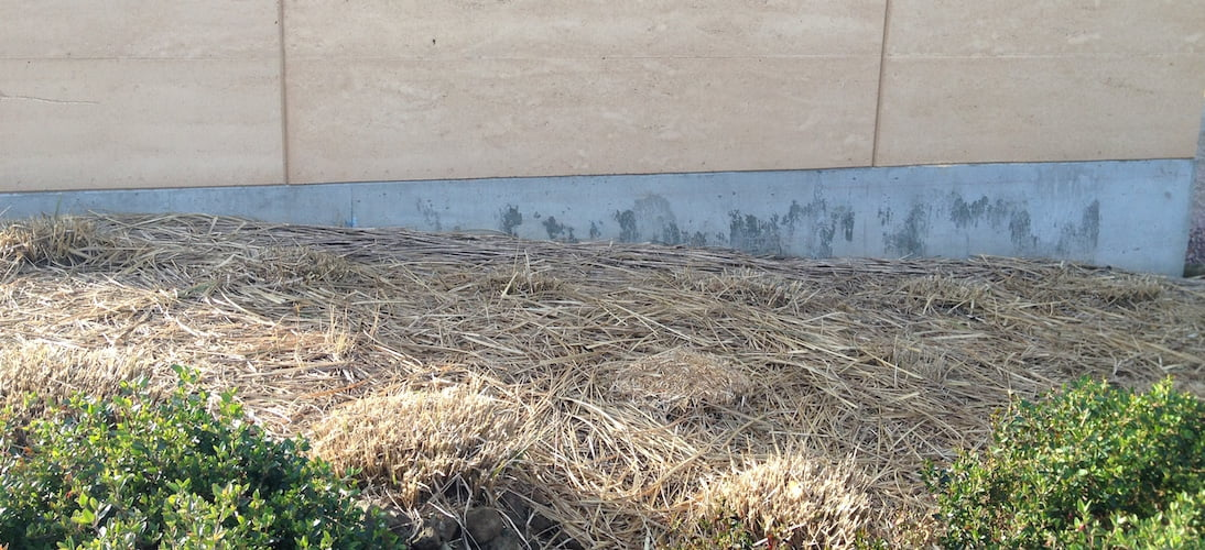 Miscanthus grasses after their 'Chainsaw Massacre'! They will green up quickly in spring.