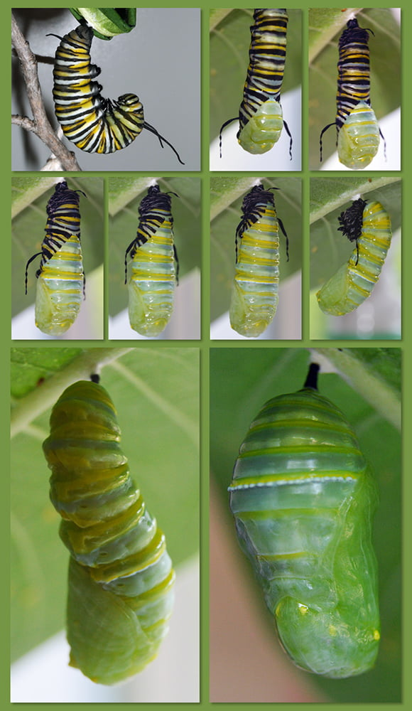 Monarch butterfly pupating Photos Dale Hammerschmidt and Mary Arneson