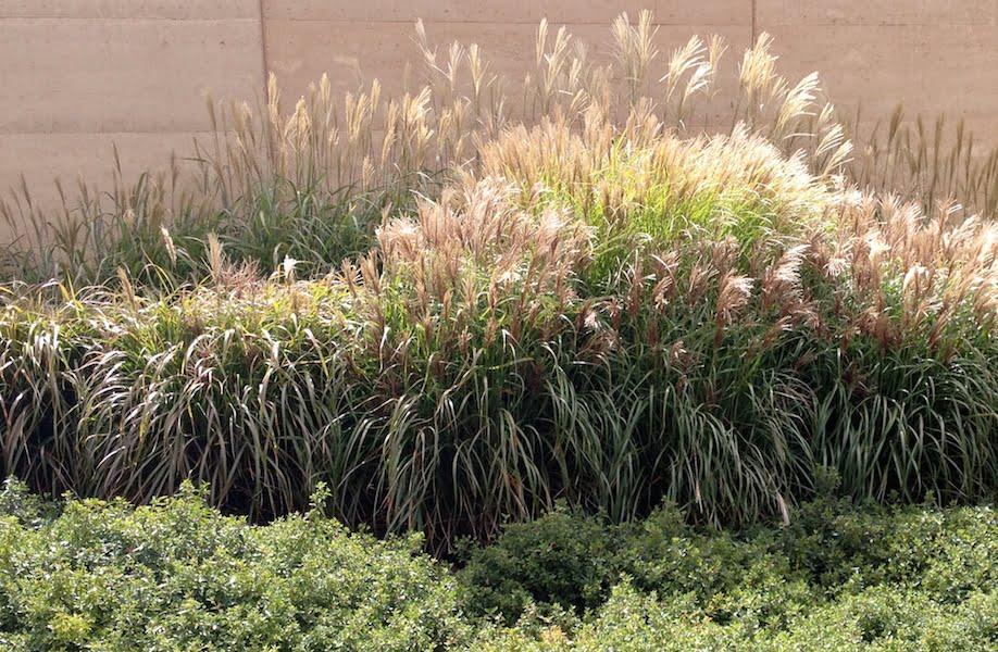 Ornamental grasses in late autumn/fall