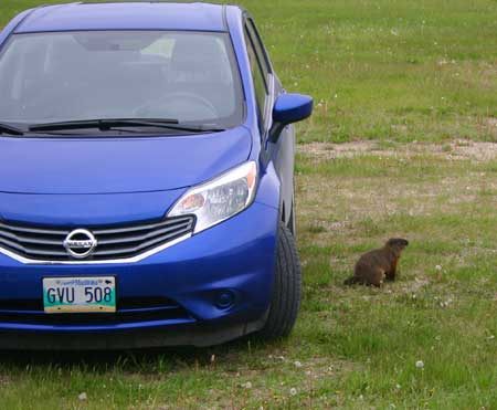 The woodchuck that lives under the field house was inspecting my car