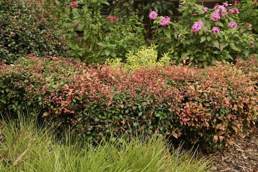 Acmena syn Syzygium 'Allyn Magic' hedge