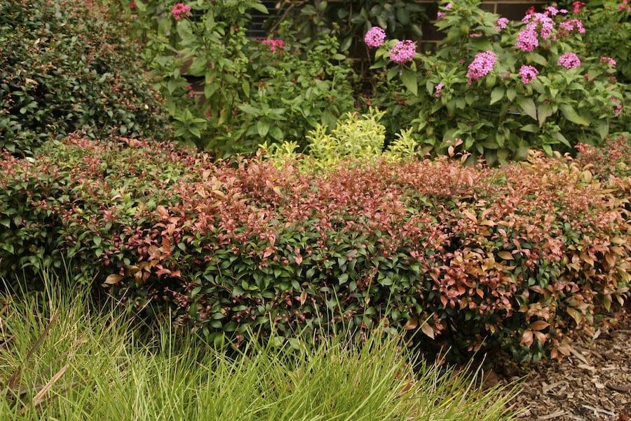 Acmena syn Syzygium 'Allyn Magic' hedge