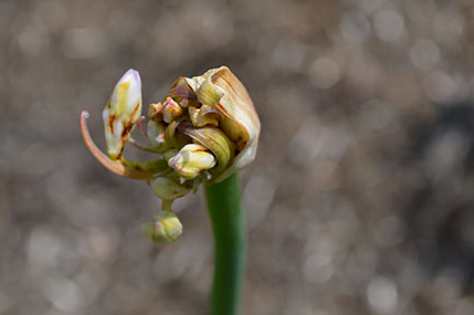 Agapanthus severely affected by gall midge. Photo RHS