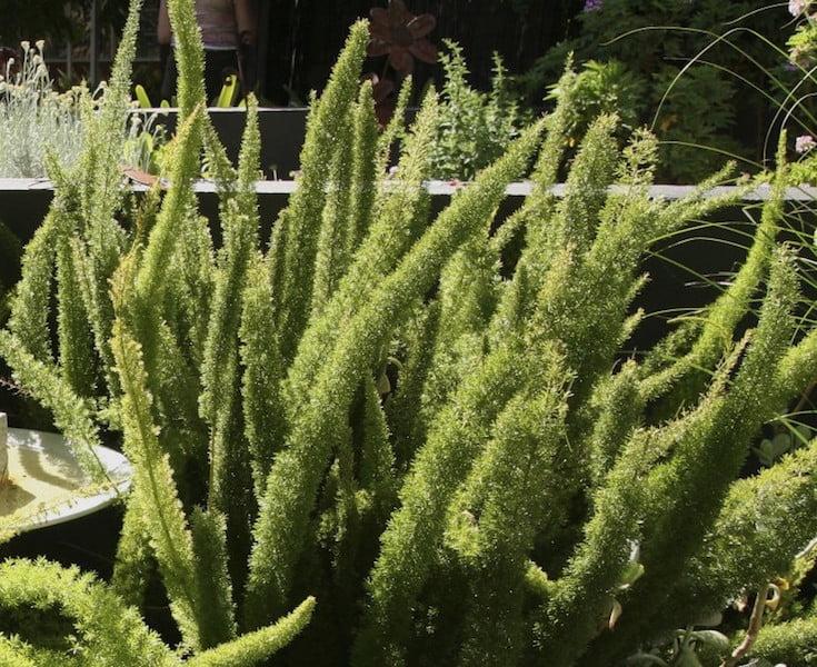 Asparagus densiflorus 'Myersii'