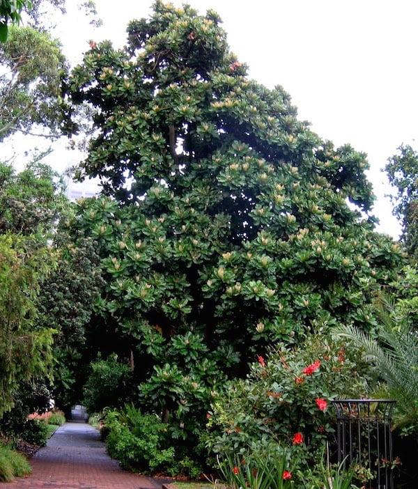 Chrysophyllum imperiale in Royal Botanic Gardens Sydney