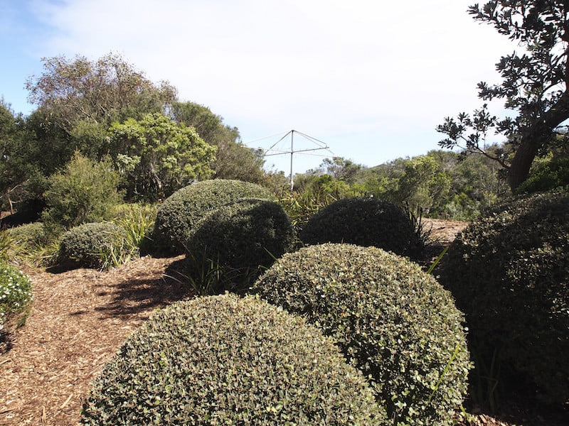 Clipped Australian native shrubs (Correa alba) adjoin dune vegetation. Design Fiona Boxall