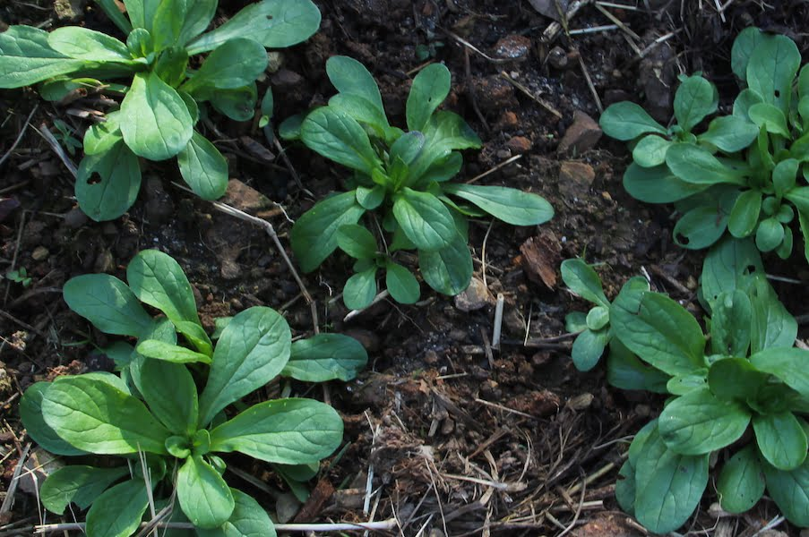 Feldsalat or Mache plants almost ready for judicious plucking