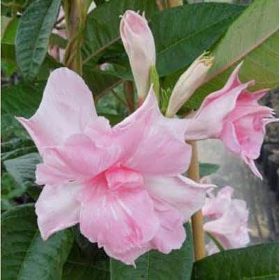 Mandevilla 'Summer Romance Double Pink'