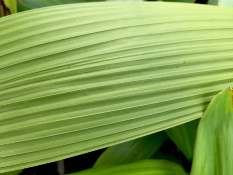 Molineria palm grass