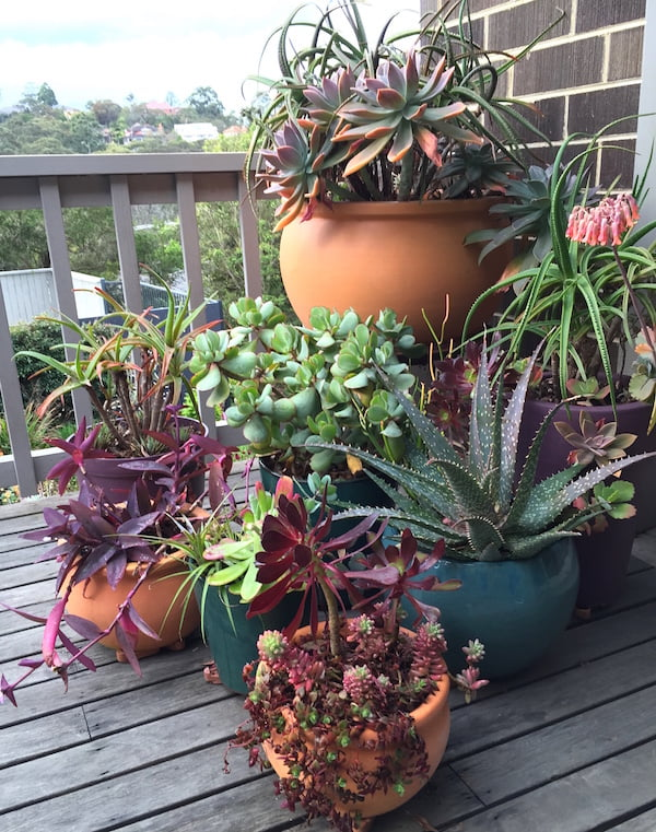 Potted succulents on my back deck