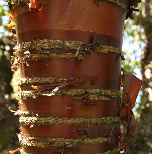 Prunus serrulata bark