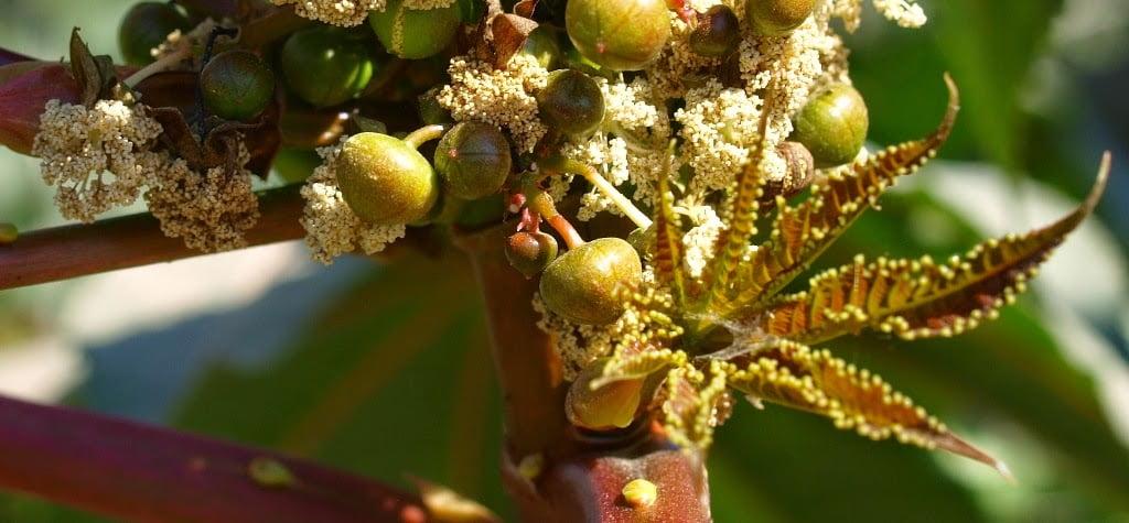 Ricinus communis castor oil plant male flowers