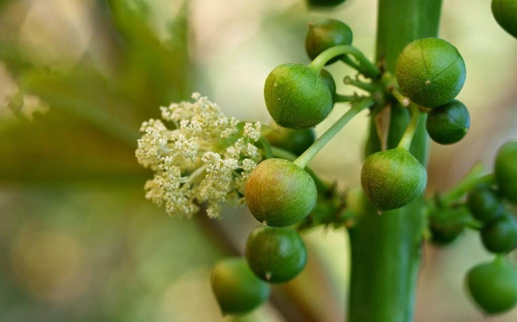 Ricinus communis male flowers