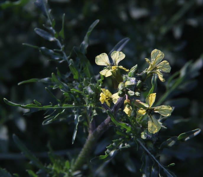 Salad Rocket 'Brigade' has unusual cream flowers