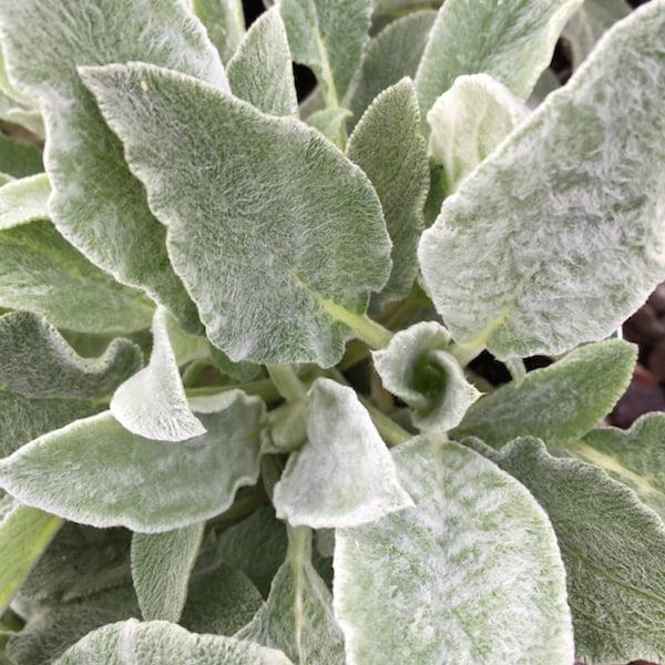 Stachys byzantina (lamb's ears) foliage