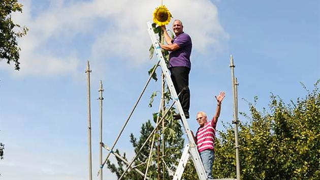 Tallest sunflower in the world Germany 2015