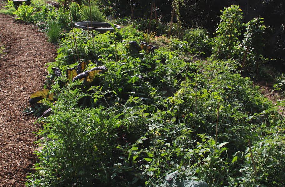 My verdant veggie garden