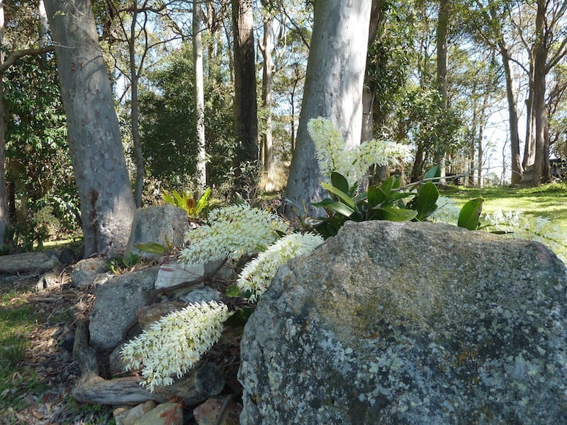 Dendrobium speciosum among the gums