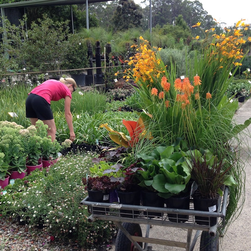 Despite visiting the largest nurseries in NSW, I still struggle to source basic plant varieties. Photo: Janna Schreier