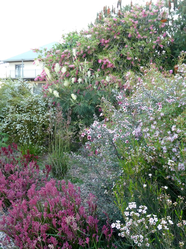 I do love colour. This grove in the north east 'goes off' in spring with Grevillea 'Moonlight', Chamelaucium uncinatum 'CWA Pink', Anigozanthos 'Bush Pizazz', Grevillea 'Jennifer Joy', Callistemon spp. and Leptospermum 'Cardwell'