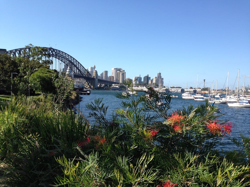 Grevillias on the harbour's edge at Lavender Bay. Photo: Janna Schreier