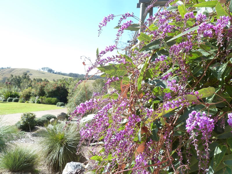 Hardenbergia violacea in full bloom leading down to the garden from the house